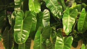 Τροπικό φυτό αυτιών ελεφάντων με τα μεγάλα πράσινα φύλλα φιλμ μικρού μήκους