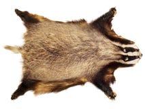 Τρόπαιο κυνηγιού - ασβός στοκ φωτογραφία