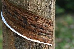 Τρυπημένο λαστιχένιο δέντρο με το φρέσκο λατέξ στοκ εικόνα με δικαίωμα ελεύθερης χρήσης