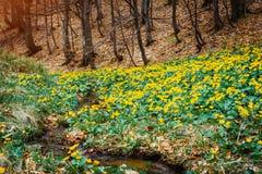 Φανταστικός τάπητας των κίτρινων marigold έλους palustris Caltha που καίγεται από το φως του ήλιου Θέση θέσης Καρπάθια, Ουκρανία, στοκ εικόνες με δικαίωμα ελεύθερης χρήσης