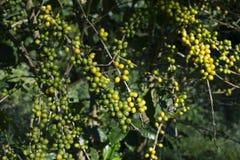Φασόλια καφέ στο δέντρο στοκ φωτογραφία