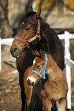 Φοράδα με λίγους παλαιό foal εβδομάδων στην κινηματογράφηση σε πρώτο πλάνο λιβαδιού στοκ φωτογραφία με δικαίωμα ελεύθερης χρήσης