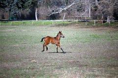 Φοράδα με λίγους παλαιό foal εβδομάδων στην κινηματογράφηση σε πρώτο πλάνο λιβαδιού στοκ φωτογραφίες