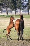 Φοράδα με λίγους παλαιό foal εβδομάδων στην κινηματογράφηση σε πρώτο πλάνο λιβαδιού στοκ εικόνες με δικαίωμα ελεύθερης χρήσης