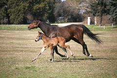 Φοράδα με λίγους παλαιό foal εβδομάδων στην κινηματογράφηση σε πρώτο πλάνο λιβαδιού στοκ εικόνα με δικαίωμα ελεύθερης χρήσης