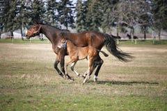 Φοράδα με λίγους παλαιό foal εβδομάδων στην κινηματογράφηση σε πρώτο πλάνο λιβαδιού στοκ εικόνες