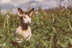 Φορέστε τη γάτα βουρτσών Sphynx το σκηνικό της φύσης στοκ εικόνα με δικαίωμα ελεύθερης χρήσης