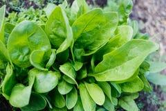 Φρέσκα πράσινα φύλλα του σπανακιού στοκ φωτογραφίες