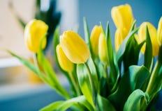 Φρέσκες κίτρινες τουλίπες ομορφιάς στοκ εικόνα με δικαίωμα ελεύθερης χρήσης