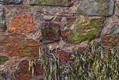 Φύκι φυκιών κύστεων, που προσκολλάται στο λιμενικό τοίχο στοκ εικόνα με δικαίωμα ελεύθερης χρήσης