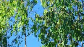 Φύλλωμα δέντρων σημύδων αγκίδων με το υπόβαθρο μπλε ουρανού απόθεμα βίντεο