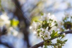 Φυσικό άνθισμα άνοιξη των δέντρων στο θερμό ηλιόλουστο καιρό στοκ φωτογραφίες