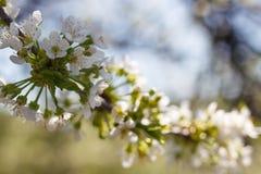 Φυσικό άνθισμα άνοιξη των δέντρων στο θερμό ηλιόλουστο καιρό στοκ εικόνα με δικαίωμα ελεύθερης χρήσης