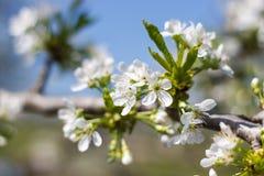 Φυσικό άνθισμα άνοιξη των δέντρων στο θερμό ηλιόλουστο καιρό στοκ εικόνα