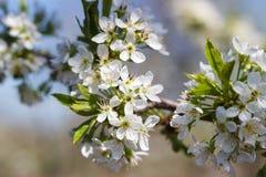 Φυσικό άνθισμα άνοιξη των δέντρων στο θερμό ηλιόλουστο καιρό στοκ φωτογραφίες με δικαίωμα ελεύθερης χρήσης