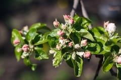 Φυσικό άνθισμα άνοιξη των δέντρων στο θερμό ηλιόλουστο καιρό στοκ εικόνες