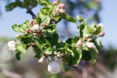 Φυσικό άνθισμα άνοιξη των δέντρων στο θερμό ηλιόλουστο καιρό στοκ φωτογραφία με δικαίωμα ελεύθερης χρήσης