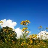 Φυτεία μουστάρδας στοκ φωτογραφία
