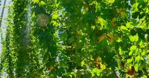 Φυτεία των λυκίσκων φιλμ μικρού μήκους