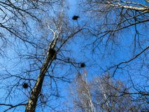 Φωλιές των πουλιών από τους κλαδίσκους στους κλάδους δέντρων στοκ εικόνες
