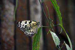 Φωτεινή διαφανής πεταλούδα στοκ εικόνα με δικαίωμα ελεύθερης χρήσης