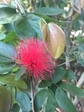 Φωτογραφία αποθεμάτων λουλουδιών julibrissin Albizia στοκ εικόνες