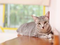 Χαλάρωση εγχώριων γατών οκνηρή στο ξύλινο πορτρέτο ντουλαπιών στοκ φωτογραφίες με δικαίωμα ελεύθερης χρήσης