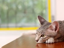 Χαλάρωση εγχώριων γατών οκνηρή στο ξύλινο πορτρέτο ντουλαπιών στοκ εικόνες με δικαίωμα ελεύθερης χρήσης