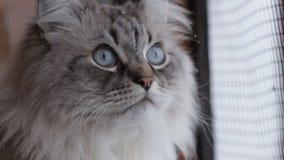 Χαριτωμένη γάτα μεταμφιέσεων Neva που κοιτάζει από το παράθυρο που απολαμβάνει το χιόνι και το σπίτι πουλιών στο εσωτερικό το χει απόθεμα βίντεο