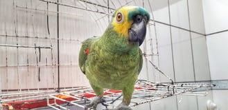 Χαριτωμένη πράσινη συνεδρίαση παπαγάλων στο κλουβί που φαίνεται ευχαριστημένο από τη μαλακή εστίαση στοκ εικόνες
