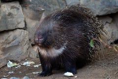 Χαριτωμένη porcupine χαλάρωση στη φύση Ζωική σκηνή στοκ εικόνες