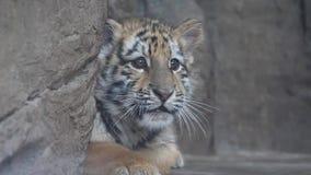 Χαριτωμένο μωρό τιγρών που βρίσκεται στο έδαφος, εκφοβισμένη έκφραση, που κοιτάζει γύρω ελαφρώς, όμορφος και επικίνδυνος ζωικός,  απόθεμα βίντεο