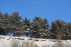 Χειμερινό δάσος στη Σιβηρία Δέντρα πεύκων ενάντια στο σαφή μπλε ουρανό στοκ εικόνες με δικαίωμα ελεύθερης χρήσης