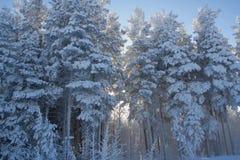 Χειμερινό δάσος στη Σιβηρία στοκ εικόνα με δικαίωμα ελεύθερης χρήσης