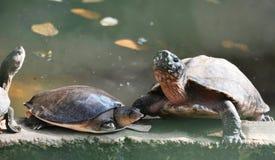 Χελώνα τρία χελώνες στην άκρη της λίμνης στοκ εικόνες με δικαίωμα ελεύθερης χρήσης
