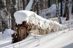 Χιόνι στην πεσμένη σημύδα, κινηματογράφηση σε πρώτο πλάνο στοκ εικόνα με δικαίωμα ελεύθερης χρήσης