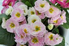 Χλωμιάστε - ρόδινες και άσπρες εγκαταστάσεις Primula που αντιμετωπίζονται άνωθεν στοκ φωτογραφία με δικαίωμα ελεύθερης χρήσης