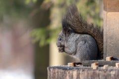 Χνουδωτός γκρίζος σκίουρος στοκ φωτογραφία με δικαίωμα ελεύθερης χρήσης