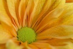 Χρυσάνθεμο κήπων με τον πορτοκαλή χρωματισμό στην κινηματογράφηση σε πρώτο πλάνο στοκ φωτογραφία με δικαίωμα ελεύθερης χρήσης