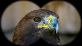 Χρυσά chrysaetos Aquila αετών που βλέπουν μέσω των διοπτρών Βλέποντας μέσω των διοπτρών Προσοχή πουλιών στο σαφάρι άγριας φύσης φιλμ μικρού μήκους