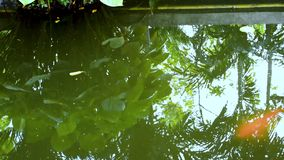 Χρυσός κυπρίνος, κυπρίνος καθρεφτών ή ψάρια koi που κολυμπούν στη λίμνη Ψάρια σε ένα ενυδρείο Κήπος με τη λίμνη και ψάρια που κολ απόθεμα βίντεο