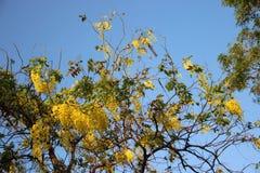 Χρυσό ντους με τα πράσινα φύλλα και ηλιόλουστος στοκ φωτογραφίες με δικαίωμα ελεύθερης χρήσης