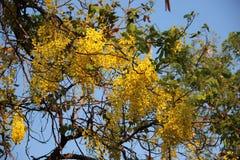 Χρυσό ντους με τα πράσινα φύλλα και το φως του ήλιου στοκ εικόνες