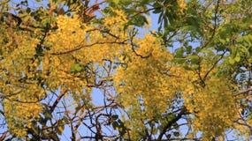 Χρυσό ντους με τα πράσινα φύλλα στοκ φωτογραφίες με δικαίωμα ελεύθερης χρήσης