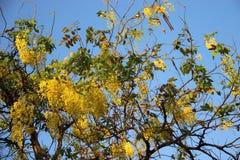Χρυσό ντους με τα πράσινους φύλλα και το μπλε ουρανό στοκ φωτογραφία με δικαίωμα ελεύθερης χρήσης
