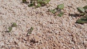 Χτύπημα στη δύσκολη στεριά Μύγα πετρών μπροστινή ξεράνετε το χώμα απόθεμα βίντεο