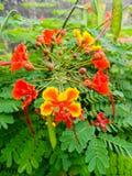Υπερηφάνεια των κόκκινων και κίτρινων πετάλων λουλουδιών των Μπαρμπάντος,  Άποψη κινηματογραφήσεων σε πρώτο πλάνο των τροπικών εγ στοκ φωτογραφίες