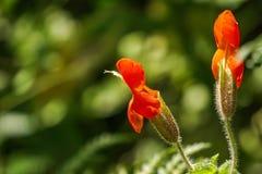 Υπερηφάνεια των wildflowers newberryi Penstemon βουνών, ανατολική οροσειρά βουνά, Καλιφόρνια στοκ εικόνα