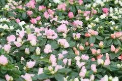 Υπόβαθρο τριαντάφυλλων, φίλτρο watercolor Μίνι αυξήθηκε λουλούδια με τα φύλλα, το ρομαντικό και αναδρομικό σχέδιο στοκ φωτογραφία με δικαίωμα ελεύθερης χρήσης