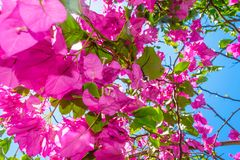 Υπόβαθρο των ανθίζοντας ρόδινων λουλουδιών μπροστά από το μπλε ουρανό στο Μπαλί στοκ εικόνα